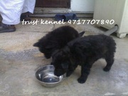 BELGIAN SHEPHERD PUPPIES FOR SALE