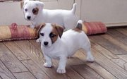 taurus kennel offer's jack russell terrier puppies for sale..
