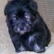 Direct Imported  Havanese Puppies available..