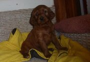 Clawsnpawskennel offers Imported Irish Setter Puppies