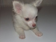 Clawsnpawskennel offers Imported Chihuahua Puppies
