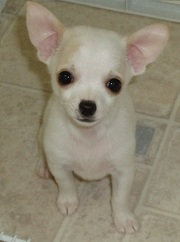 BEAUTIFUL CHIHUAHUA PUPPIES  AT ATTRACTIVE PRICE