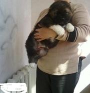 Caucasian Shepherd Puppies for Sale @ 09830064171