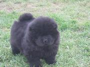 Chow Chow Puppies for Sale @ 09830064171