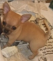 Chihuahua Puppies for Sale @ 09830064171
