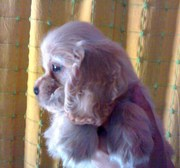 Cocker spaniel puppies for sale at 9830064171