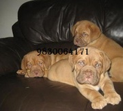IMPORTED AND CHAMPION BLOODLINE French Mastif (Dogue De Bordeaux) PUPP