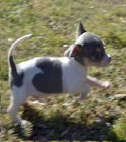 Imported bloodline  Chihuahua puppy ready 4 sale