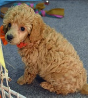 POODLE PUPPIES for sale available at (7033834171)