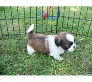 Lhasa Apso Puppies @ 7033834171/7890159755